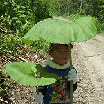 フキの葉の日傘